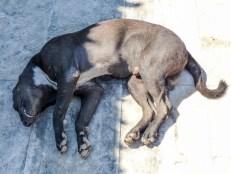 Snoring dog at Win Sein Taw Ya