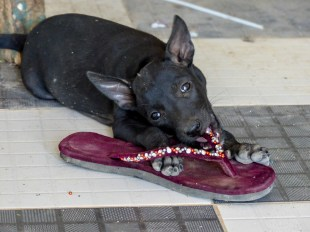 Puppy eating flipflops at Win Sein Taw Ya