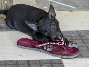 Puppy eating flipflops at Win Sein Taw Ya