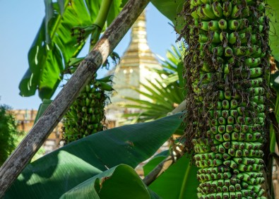 Banana tree infront of golden pagoda