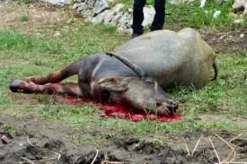 Tana Toraja Funeral Ceremony - dead sacrificed buffalo Christian Jansen & Maria Düerkop