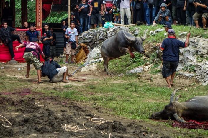 Tana Toraja Funeral Ceremony - angry buffalo, bleeding Christian Jansen & Maria Düerkop