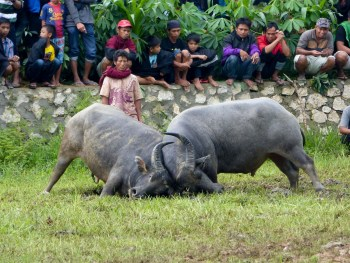 Tana Toraja Funeral Ceremony - buffalo fight and spectators in the rice field Christian Jansen & Maria Düerkop