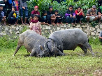 Tana Toraja Funeral Ceremony - buffalo fight and spectators in the rice field Christian Jansen & Maria Düerkop