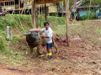 Tana Toraja Funeral Ceremony - water buffalo sacrifice preparation Christian Jansen & Maria Düerkop