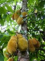 Tana Toraja - jackfruit tree Christian Jansen & Maria Düerkop