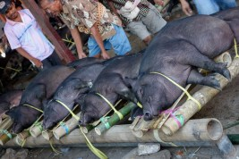 Tana Toraja - pigs are tightened to a bamboo construction at animal market in Rantepao Christian Jansen & Maria Düerkop