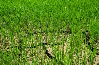 Sumba - dry soil and green rice plants Christian Jansen & Maria Düerkop