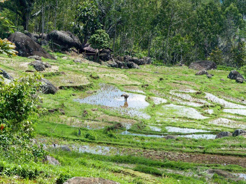 Tana Toraja - water buffalo in rice terraces Christian Jansen & Maria Düerkop