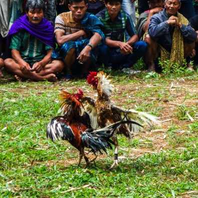 Tana Toraja - second rooster fight Christian Jansen & Maria Düerkop