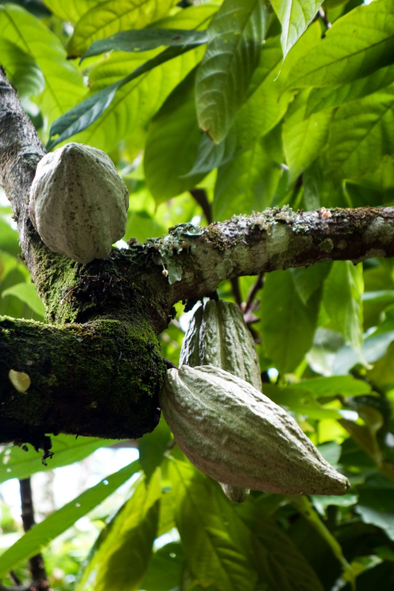 Tana Toraja - young cocoa beans on tree Christian Jansen & Maria Düerkop