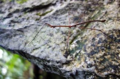 Mulu National Park - stick insect Christian Jansen & Maria Düerkop