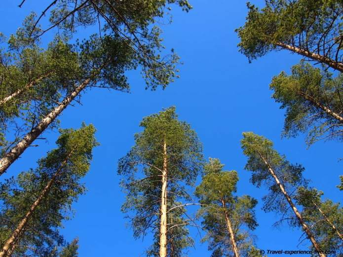 Pine trees and blue sky, Sweden.