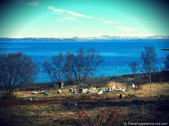 Herd of reindeer, Norway.