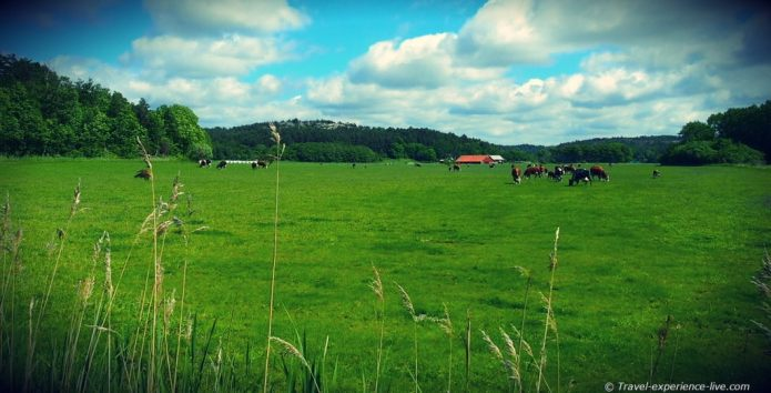 Cows and farm in Sweden.