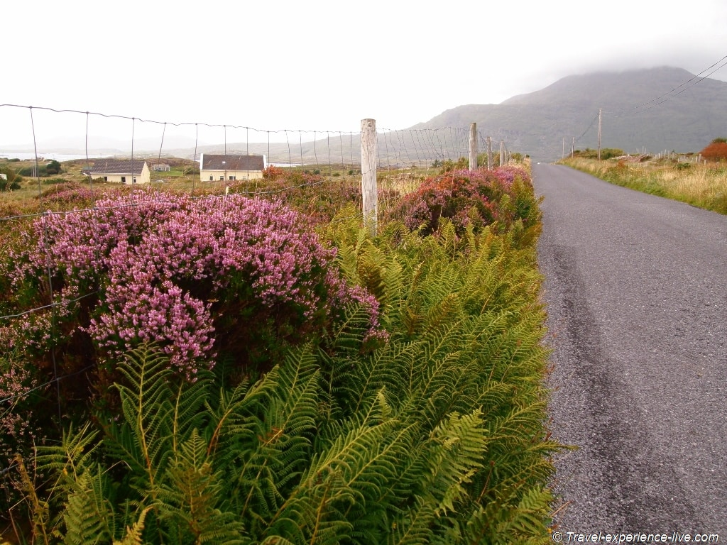 Heather in Connemara, Ireland.
