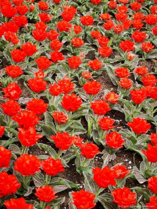 Low red tulips in Keukenhof, the Netherlands.