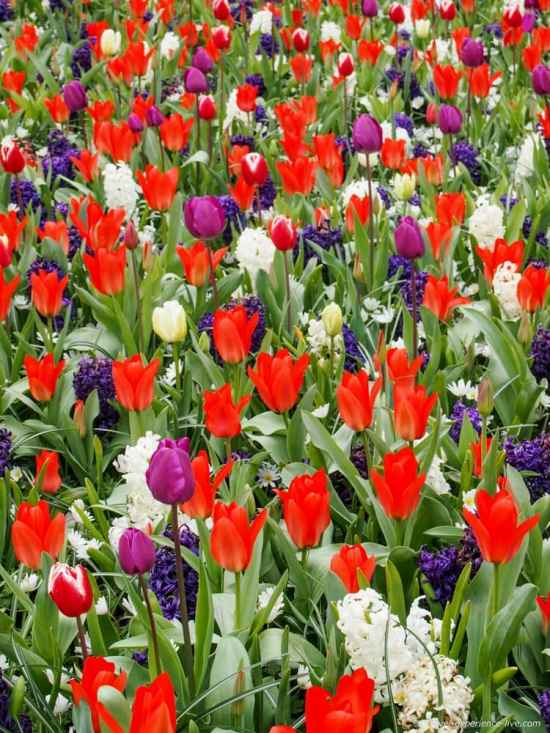 A colorful mix of flowers in Keukenhof, the Netherlands.