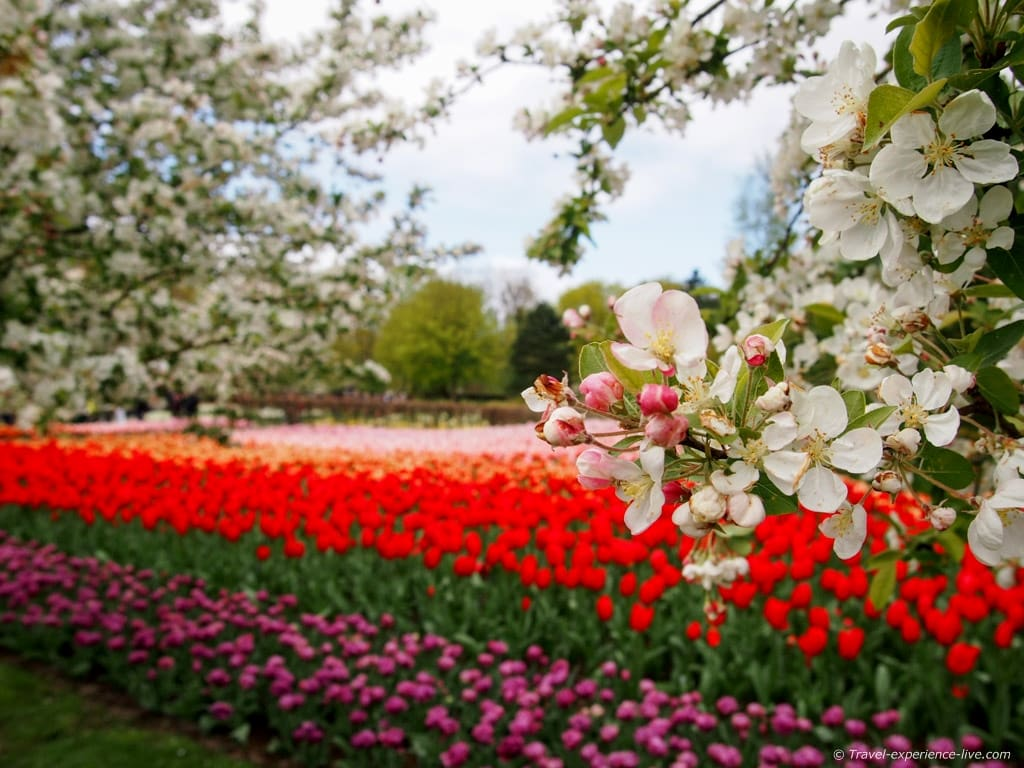 Cherry blossoms and tulips in Keukenhof, Lisse.