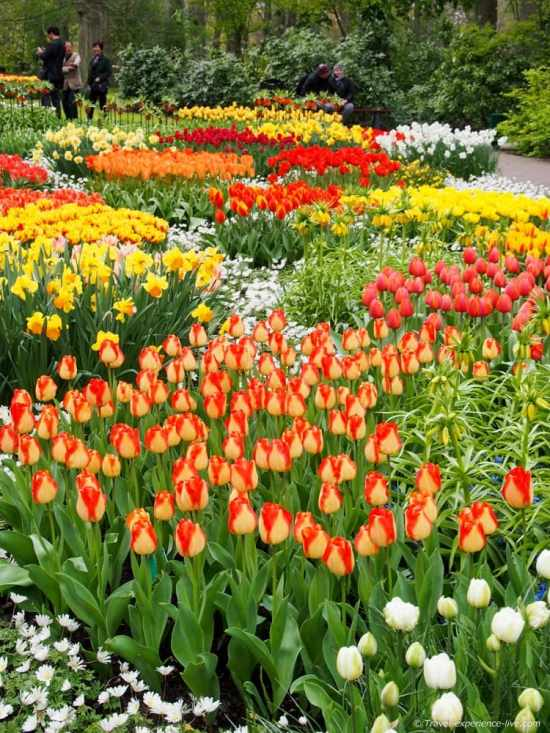 Colorful tulips in Keukenhof, the Netherlands.