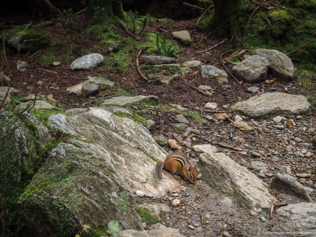 A chipmunk on the Long Trail, Vermont.