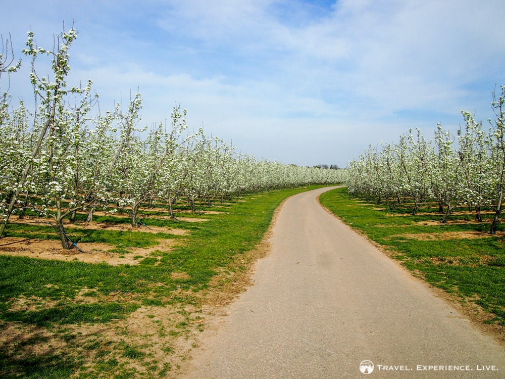 Bicycle path through orchard, Haspengouw
