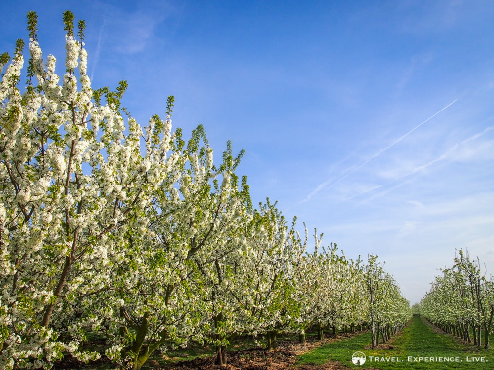 Fruit tree blossoms in Haspengouw