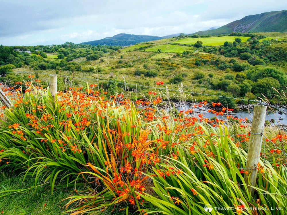 Wildflowers on the Ring of Kerry, Ireland