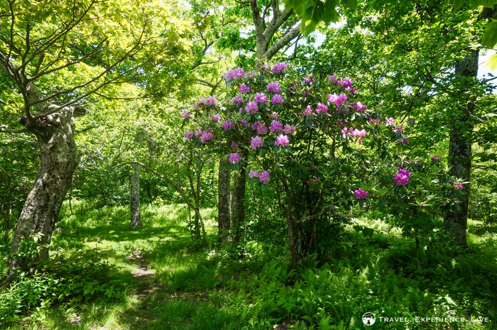 Rhododendron in bloom, George Washington National Forest