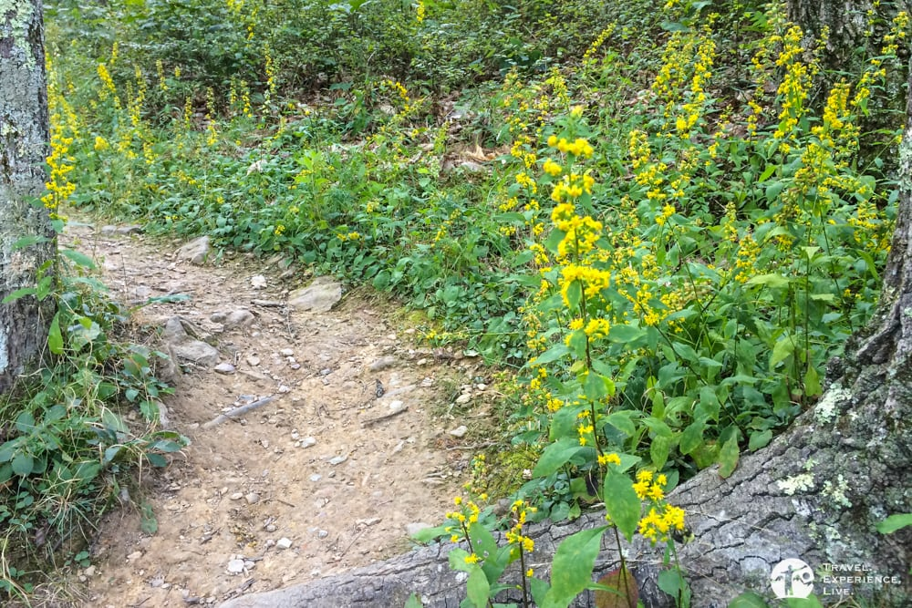 Wildflowers, Turk Mountain Trail, Shenandoah National Park