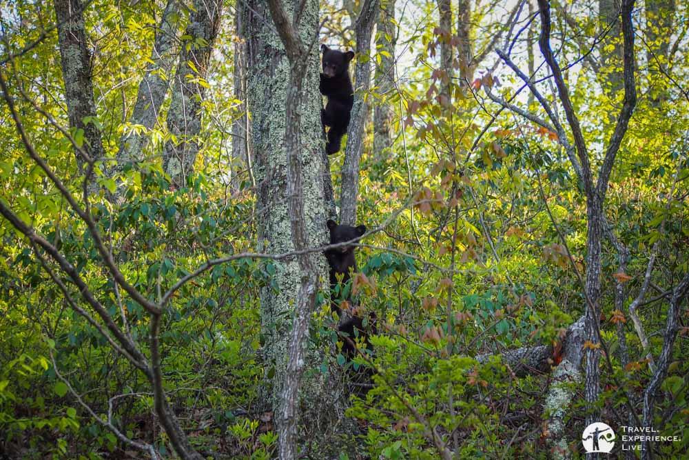 Black bear cubs, Shenandoah National Park