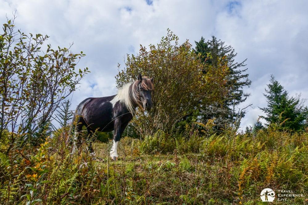 Friendly wild pony in Grayson Highlands State Park