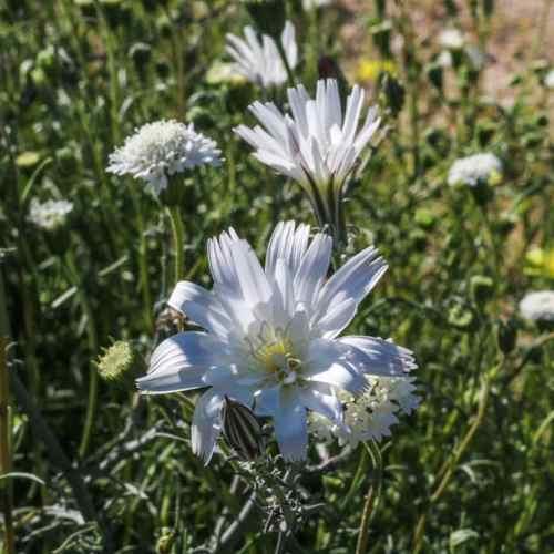 White wildflowers, Anza-Borrego Desert State Park
