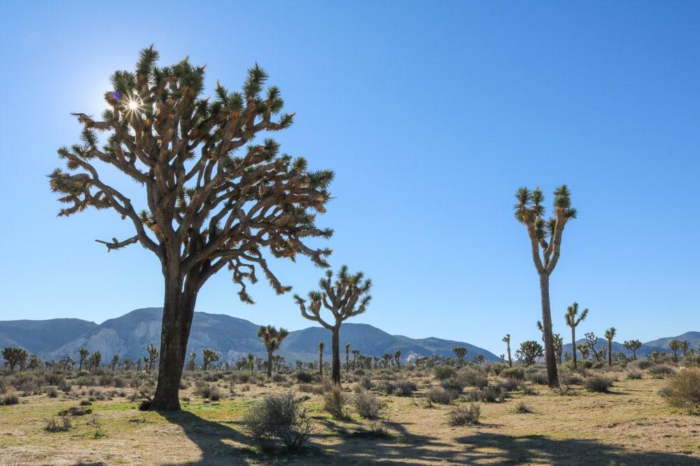 Joshua trees in Joshua Tree National Park, California