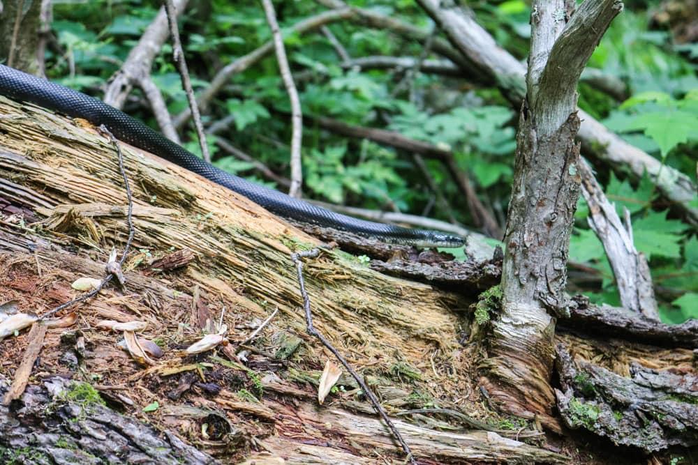 Black racer snake in Shenandoah National Park