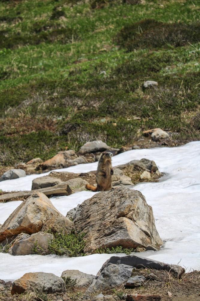 Hoary marmot in Mt Rainier National Park