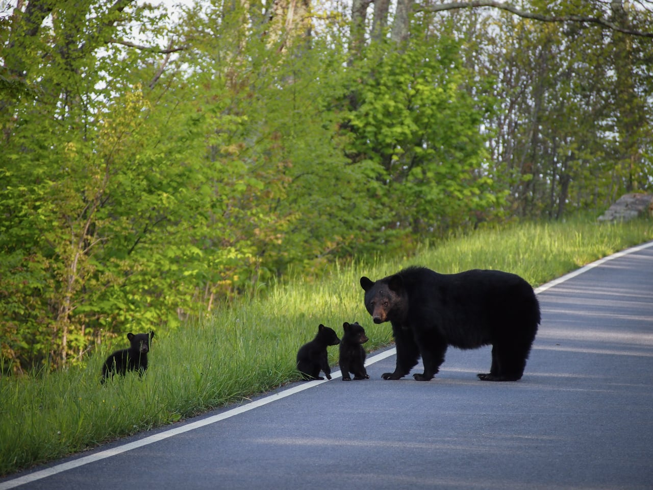 Protective Mother Bear