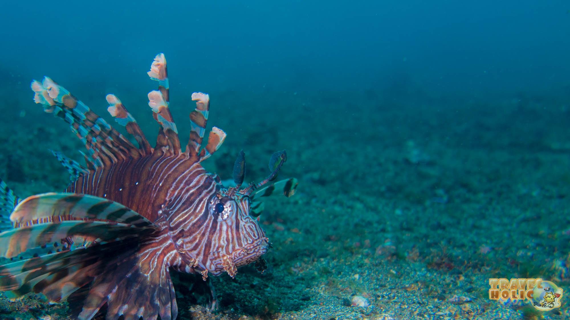 Lionfish croisé dans le Détroit de Lembeh