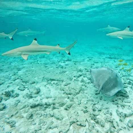 requins raie bora bora