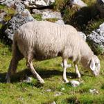 travel-slovenia-sheep