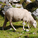 travel-slovenia-sheep
