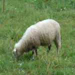 travel-slovenia-bovec-sheep-view