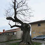 travel-slovenia-pliskovica-old-linden-tree-view