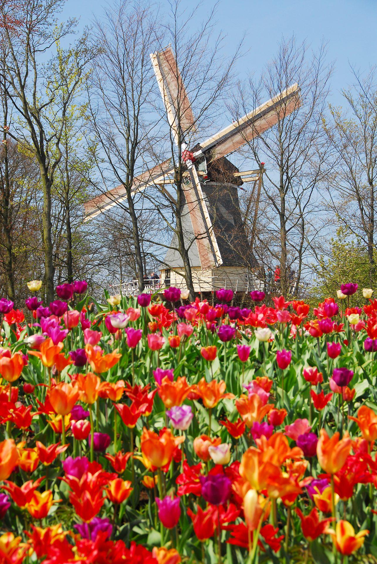 Keukenhof Miffy é o nome carinhoso dado pelos holandeses ao moinho de vento do parque, que tem + de 100 anos