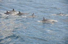 Maui - Dolphins