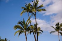 Palm trees in Lahaina
