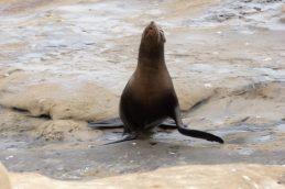 Sea Lions at La Jolla