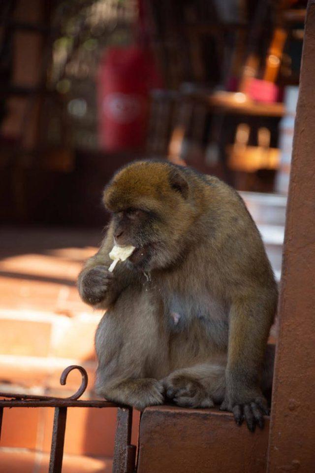 A Monkey Eating a Stolen Magnum