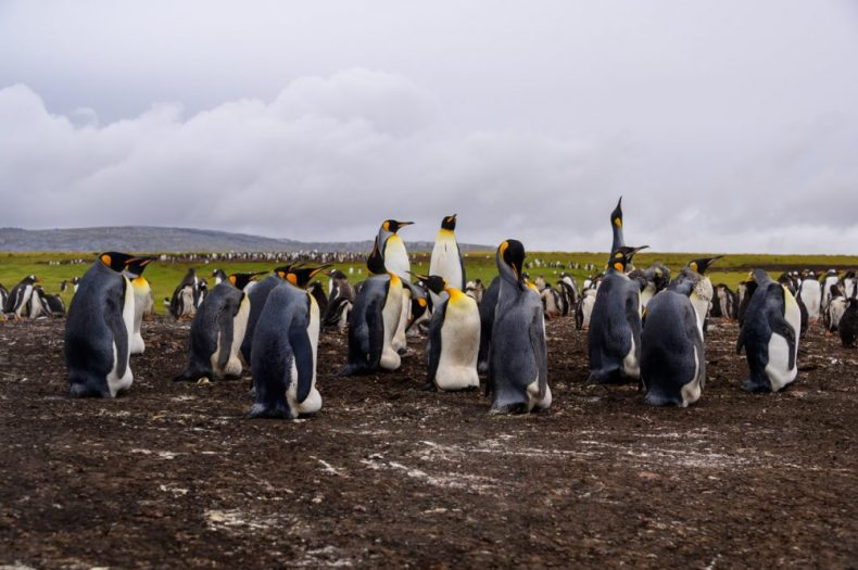 Bluff Cove Penguin Rookery, King Penguins Colony