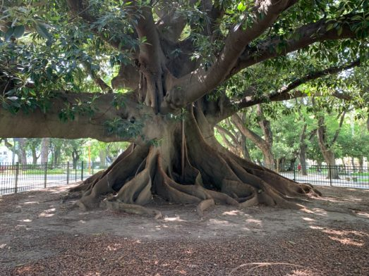 Ficus Tree in Buenos Aires - on our Cruise to South America